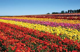 Fiels of flowers
